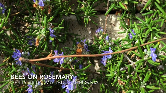 Bees at the Getty Villa - A Minute in Los Angeles 4