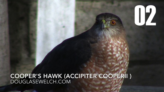 Cooper's Hawk (Accipiter cooperii): Back Again - 2 in a series from My Word