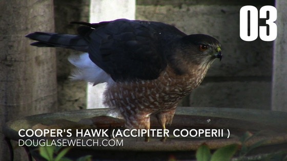 Cooper's Hawk (Accipiter cooperii): Back Again - 3 in a series from My Word [Video]
