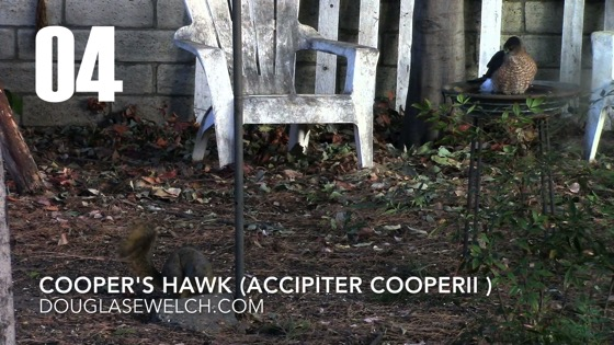 Cooper's Hawk (Accipiter cooperii): Back Again - 4 in a series from My Word