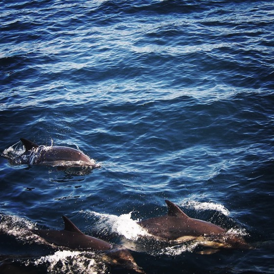 Common Dolphins spotted enroute to Santa Cruz Island via Instagram