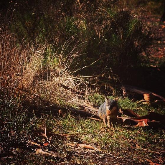 Island fox 1