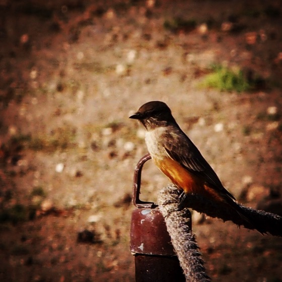 Say's Phoebe, Santa Cruz Island via Instagram
