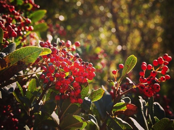 Toyon Berries On Santa Cruz Island via Instagram