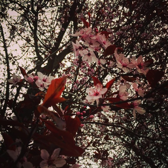 Trees in Bloom as Spring Approaches, Dunedin, New Zealand via Instagram
