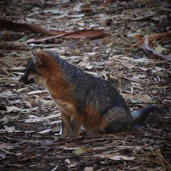 Channel Island Fox (Urocyon littoralis), Santa Cruz Island via My Instagram