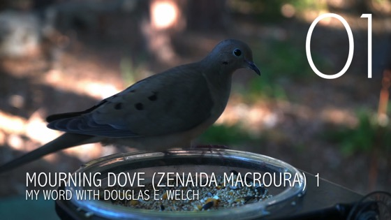 Mourning Dove (Zenaida macroura) Up Close - 1 in a series [Video] (0:58)