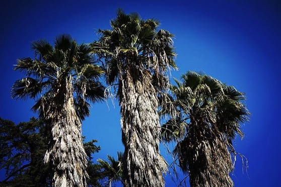 My Los Angeles 49 - Old palm trees after the storm from My Instagram