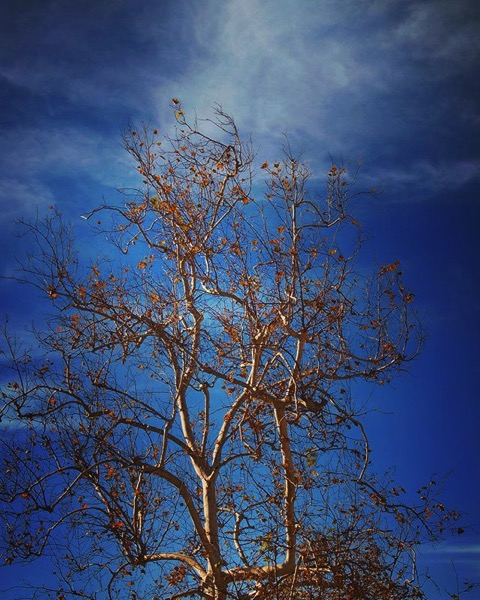 Winter Sycamore via My Instagram