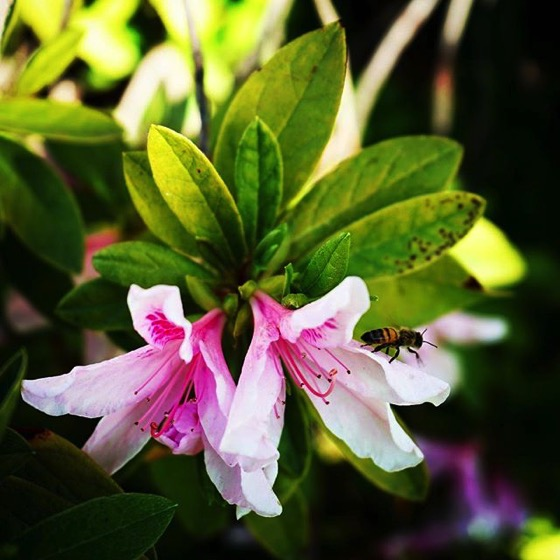 Bee on azalea via My Instagram - Follow me there for even more photos!