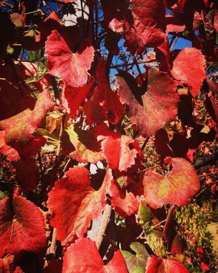 Grape vines in the Autumn via My Instagram