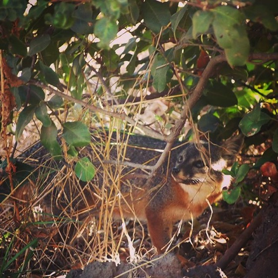 Such camouflage, Channel Island Fox (Urocyon littoralis), Santa Cruz Island via My Instagram