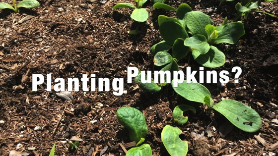 In the garden...March 17, 2018: Planting Pumpkins? from A Gardener's Notebook [Video] (1:34)