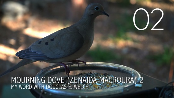 Mourning Dove (Zenaida macroura) Up Close - 2 in a series from My Word [Video] (1:05)