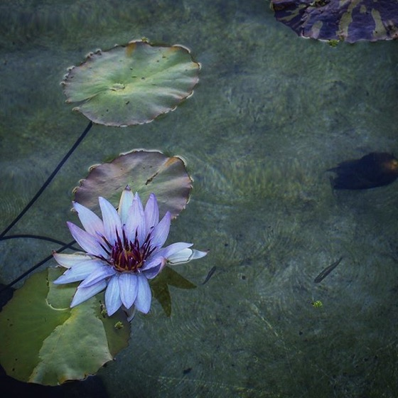 Water Lily via My Instagram