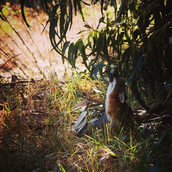 Channel Island Fox licking nectar from eucalyptus flowers via My Instagram