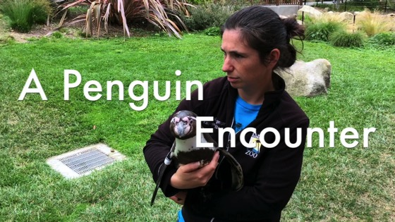 A Penguin Encounter at the Santa Barbara Zoo - Humboldt Penguin (Spheniscus humboldti) [Video] (3:23)