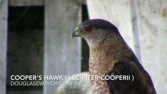 Cooper's Hawk (Accipiter cooperii), Van Nuys, CA, July 5, 2018 [Video] (1:00)