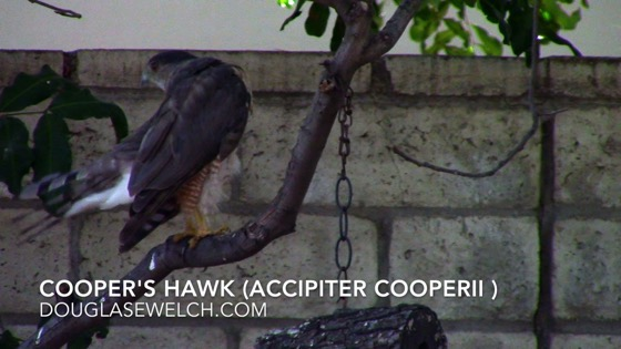 Cooper's Hawk (Accipiter cooperii), Van Nuys, CA, July 5, 2018 - 3 in a series