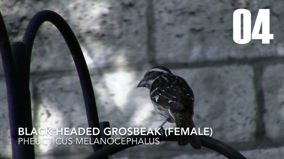 Female Black-Headed Grosbeak (Pheucticus melanocephalus) - 4 in a series [Video] (1:00)