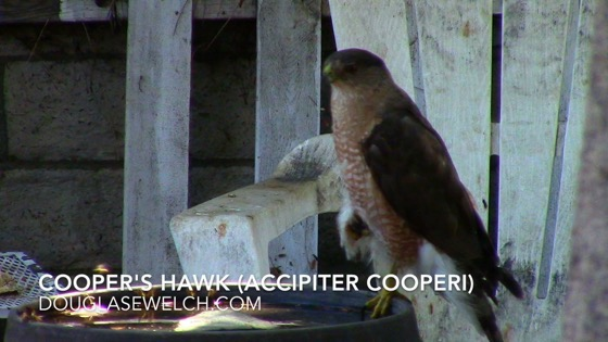 Cooper's Hawk (Accipiter cooperii), Van Nuys, CA, July 8, 2018 - 1 in a series