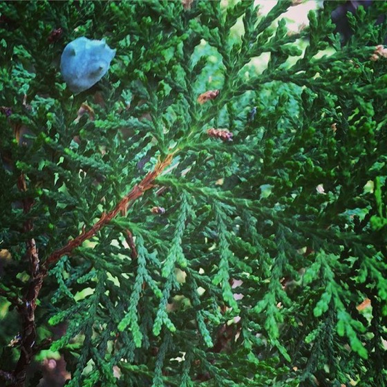 Yew leaves in the garden via Instagram