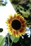 Sunflower Orto Botanico di Brera Milano Italy