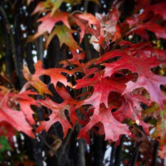 Red leaves in Autumn via Instagram