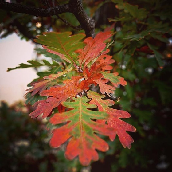 Red edges on Autumn Oak Leaves via Instagram