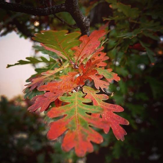 Red edges on Autumn Oak Leaves via Instagram