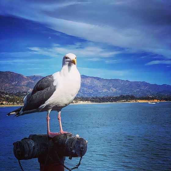 Gull/Gabianno on Stearns Wharf, Santa Barbara via Instagram
