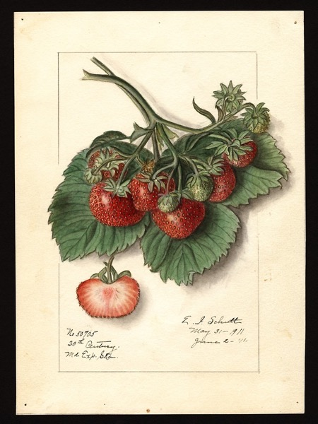 Vintage Strawberries by Douglas E. Welch [For Sale]