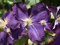 Purple Clematis from A Gardener's Notebook