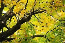 Fall Leaves in California
