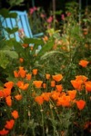 California Poppies In The Garden