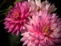 Pink Dahlias from A Gardener's Notebook