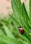 A Ladybug Sleeps