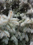 Silver Fir from A Gardener's Notebook