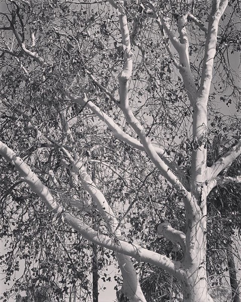 Sycamore In Autumn via Instagram