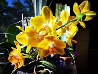Yellow Orchids In The Sun