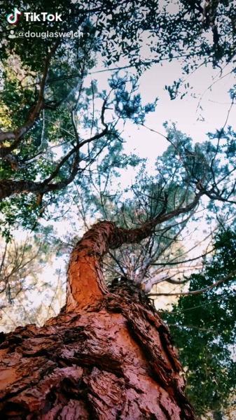 Breeze in the trees via TikTok