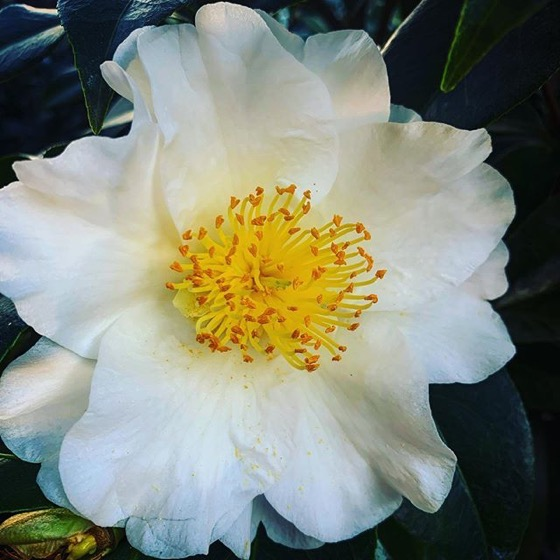 White Camellia Flower via Instagram