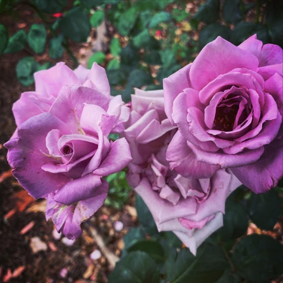 Beautiful Roses In The Garden Today via Instagram