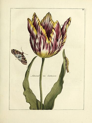 Vintage Tulip Print T-Shirts and More From Douglas E. Welch Design and Photography [For Sale]