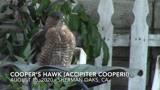 Coopers hawk 20200815 01