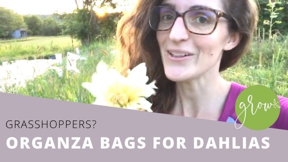 Dazzling Dahlias - 47 in a series - Protecting Dahlia Flowers From Pests via Sarah Funk on YouTube