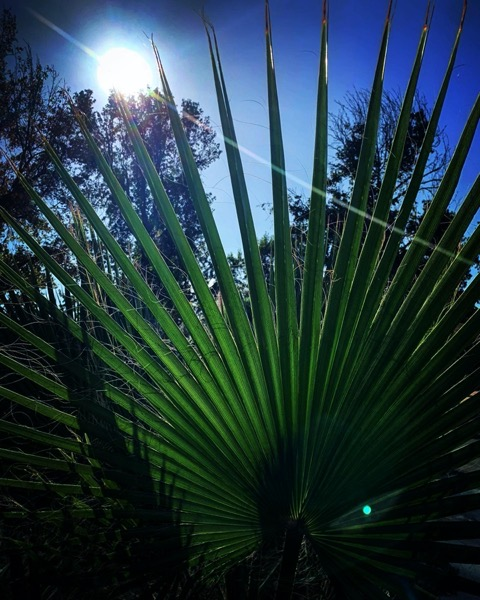 Fan palm in the sun via Instagram