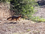 Channel Island Fox (Urocyon littoralis), Santa Cruz Island, California