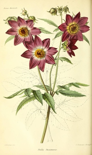 Dazzling Dahlias - 66 in a series - Dahlia Decaisneana from From Revue horticole (1864)