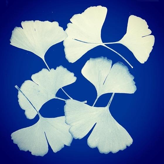 Ginkgo Leaves Faux Cyanotype via Instagram